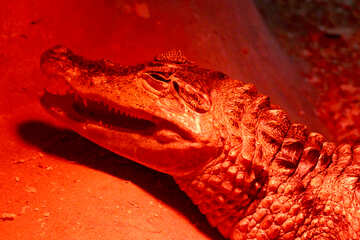 Red crocodile №45792
