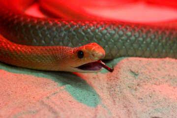 Snake head №45788