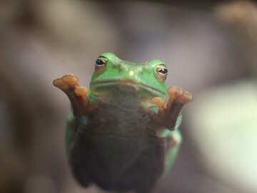 Tree frog on glass №45587