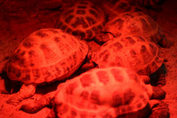 Red turtle №45575