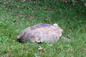 Turtle in grass №45845