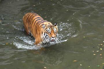 Water tiger №45649