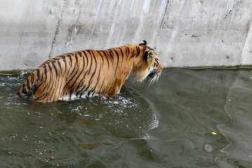 Tiger in the water №45717
