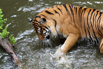 Tiger playing in the water №45682
