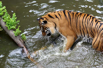 Tiger playing in the water №45685