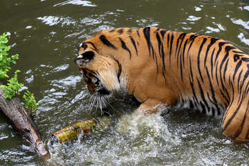 Tiger playing in the water №45686