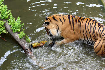 Tiger playing in the water №45687
