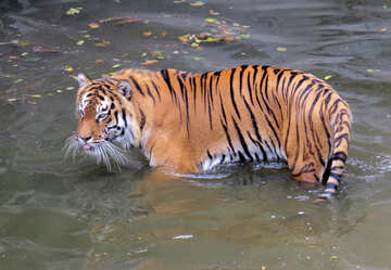 Tiger resting in water №45024