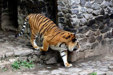 Tiger at the zoo №45757