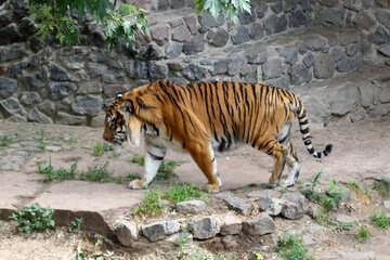 Tiger at the zoo №45762