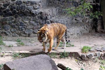 Tiger at the zoo №45773