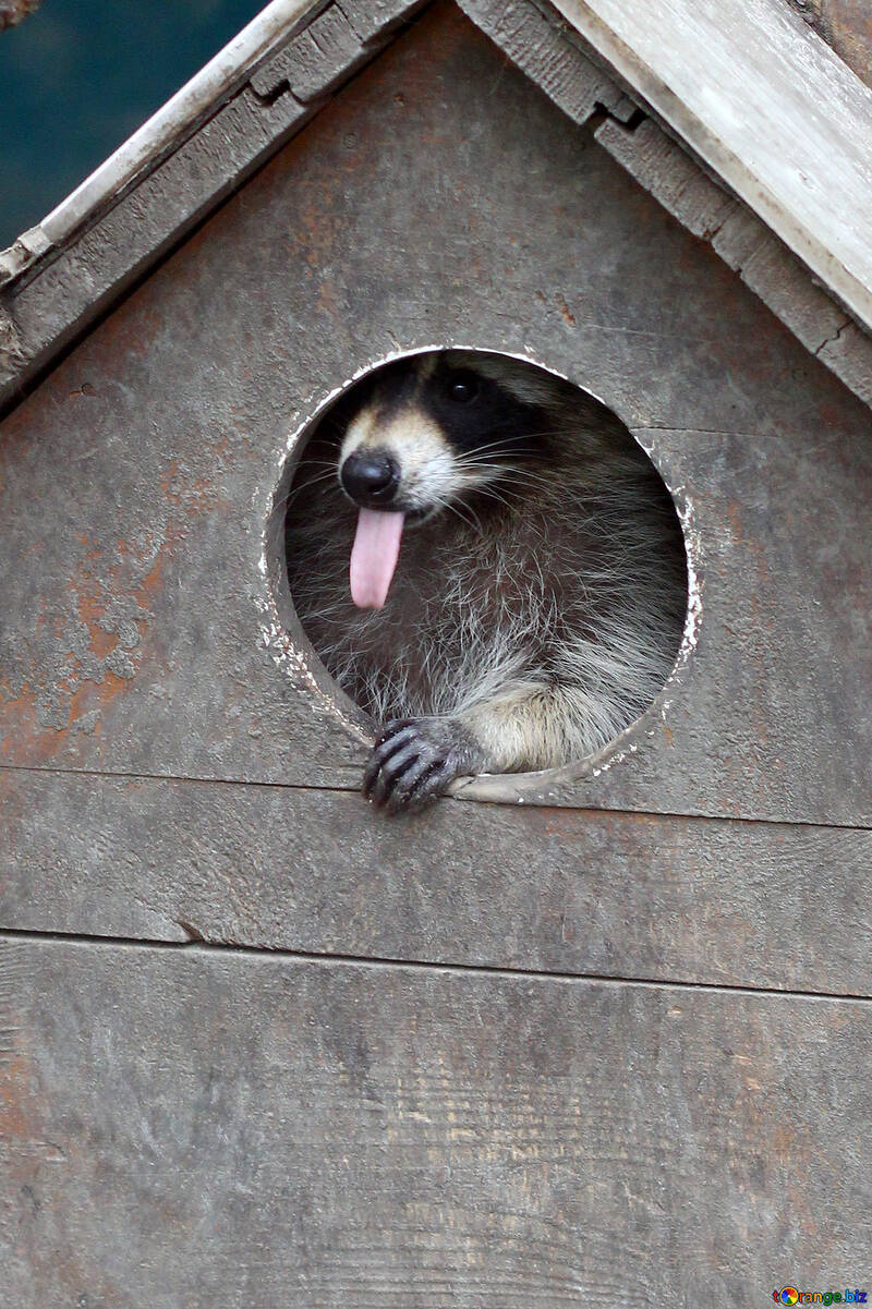House for raccoons №45408