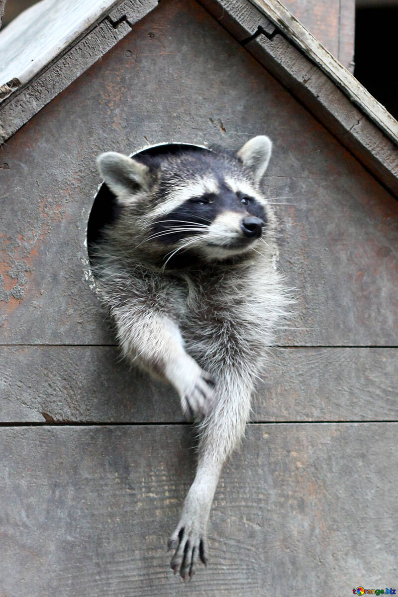 Raccoon in the house №45407