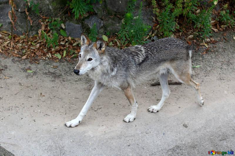 Lobo №45513