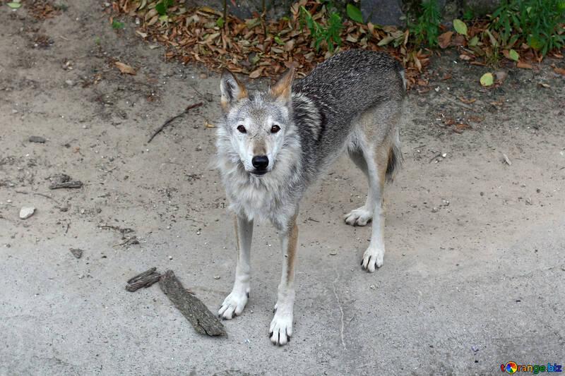 Lobo №45516