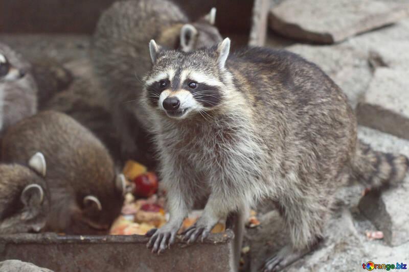 Raccoon №45390