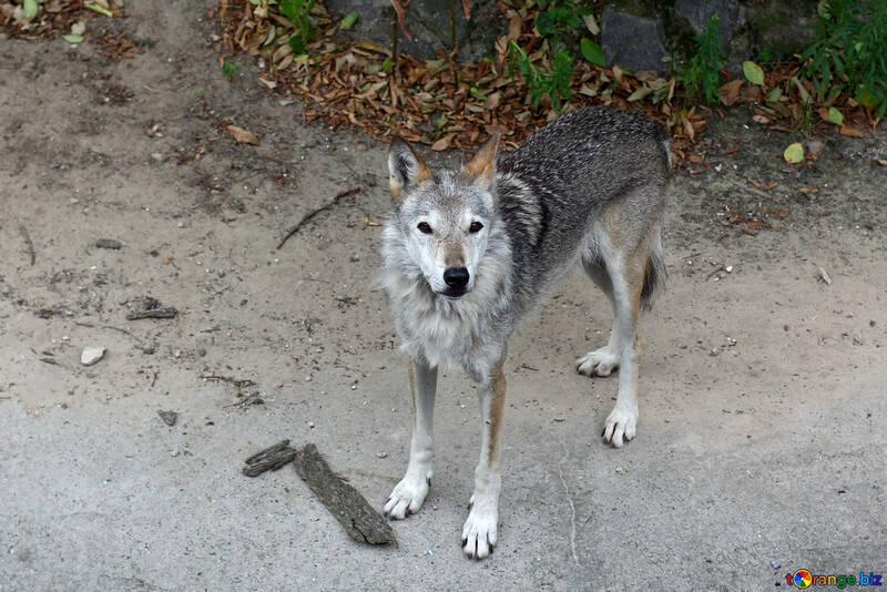 Lobo №45515