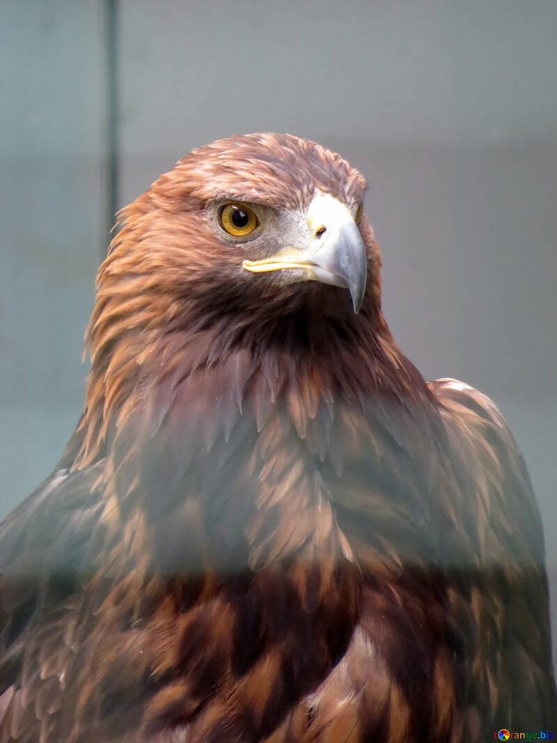 Águila real №45229