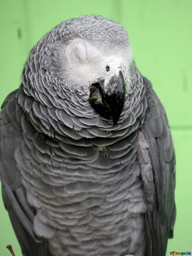 Grey parrot №45198