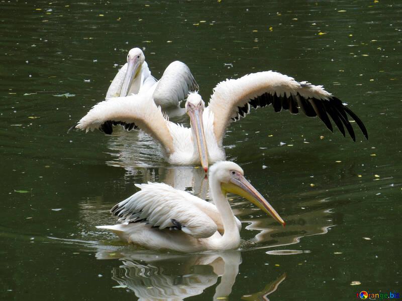 Pelícanos en el agua №45339