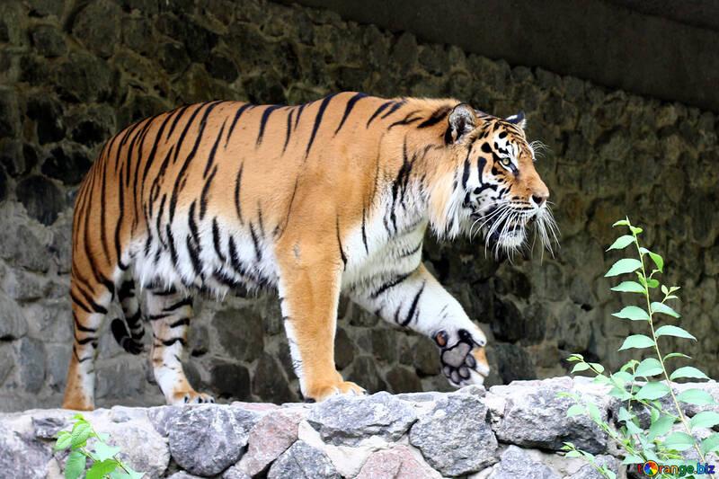 Hermoso tigre №45610