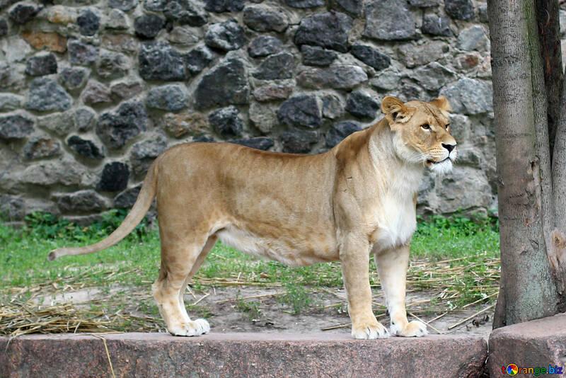 Lioness №45475