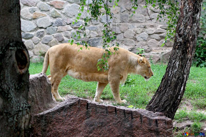 Lioness №45499