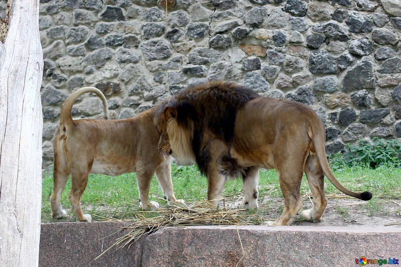 Lions №45487