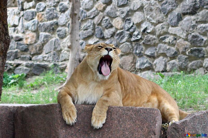Lion`s Mouth №45452