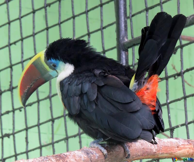 Big beak №45184