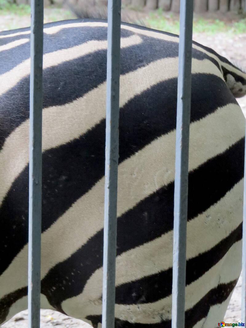 Cebras en el zoológico №45104