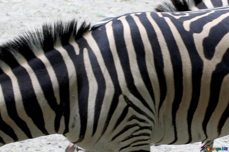 Wool zebra №45855