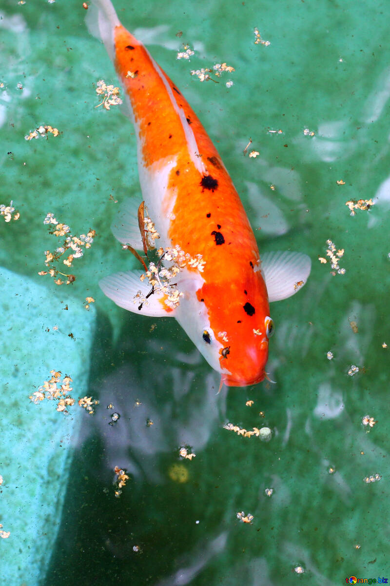 Koi peces carpa decorativa №45821