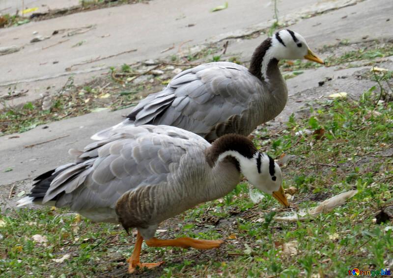 Les oies sauvages №45263