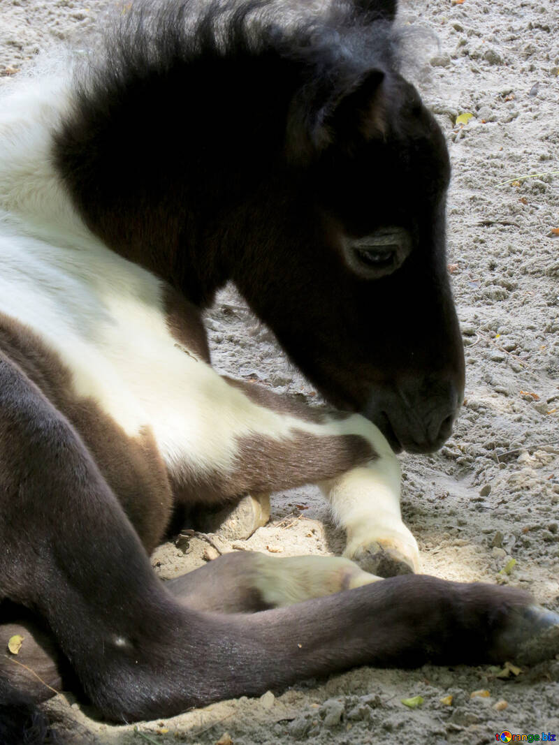 Little horse №45141