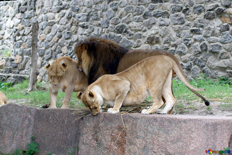 Lions Family №45481
