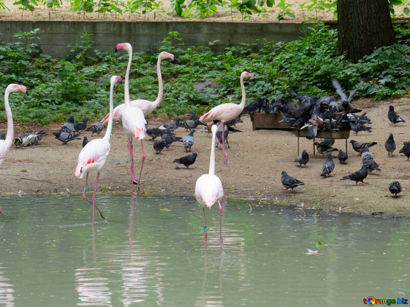 Фламинго в зоопарке №45331