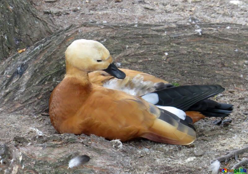 Ogar canard orange rouge №45174