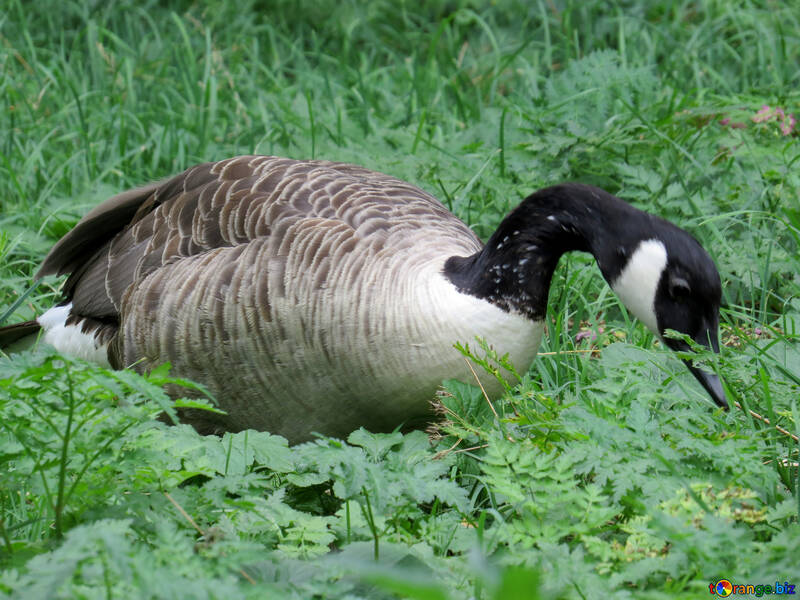 Wild geese №45251