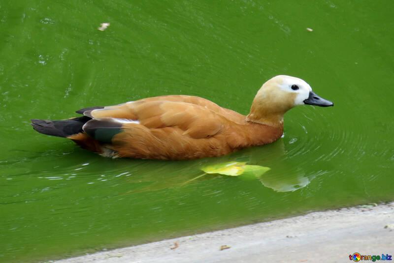 Ogar canard orange rouge №45246