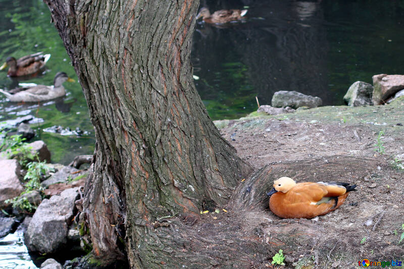 Ogar canard orange rouge №45952