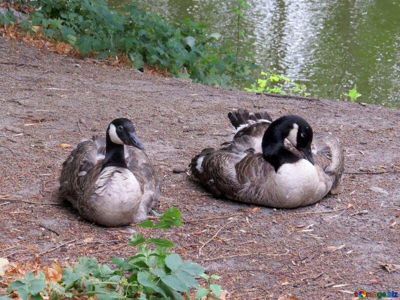 Les oies sauvages №45325