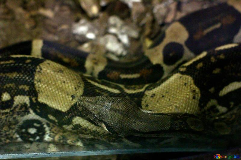 Cabeza de serpiente №45776