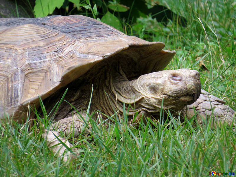 Turtle in grass №45114