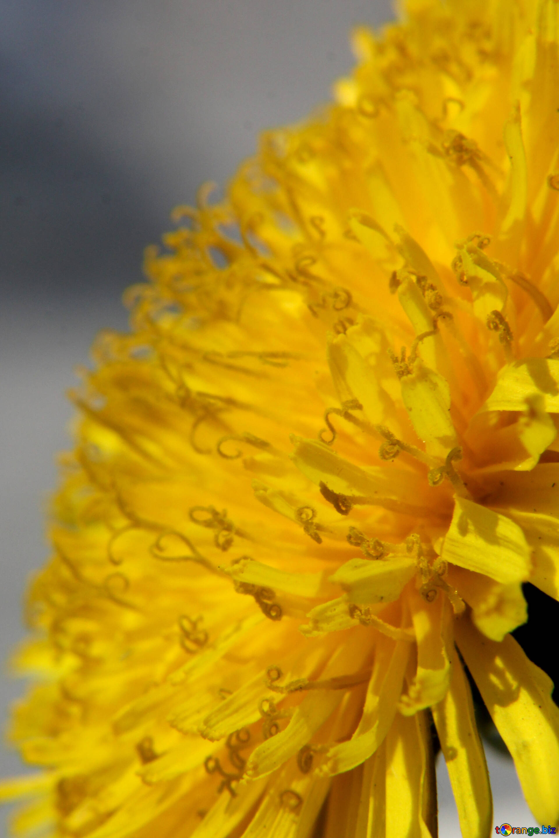yellow dandelion flowers close-up of dandelion flower summer № 46796