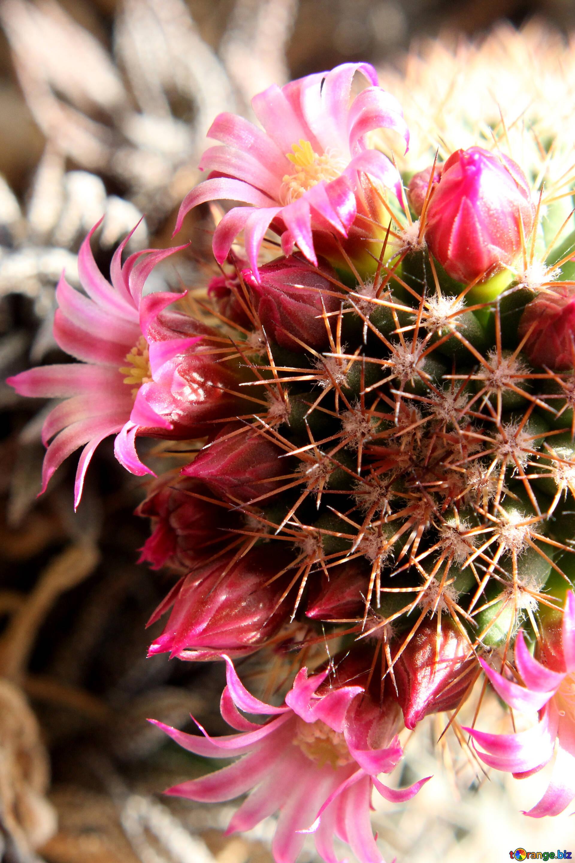 Kaktus Blumen Cactus Blumen Auf Der Fensterbank Nacht 46597