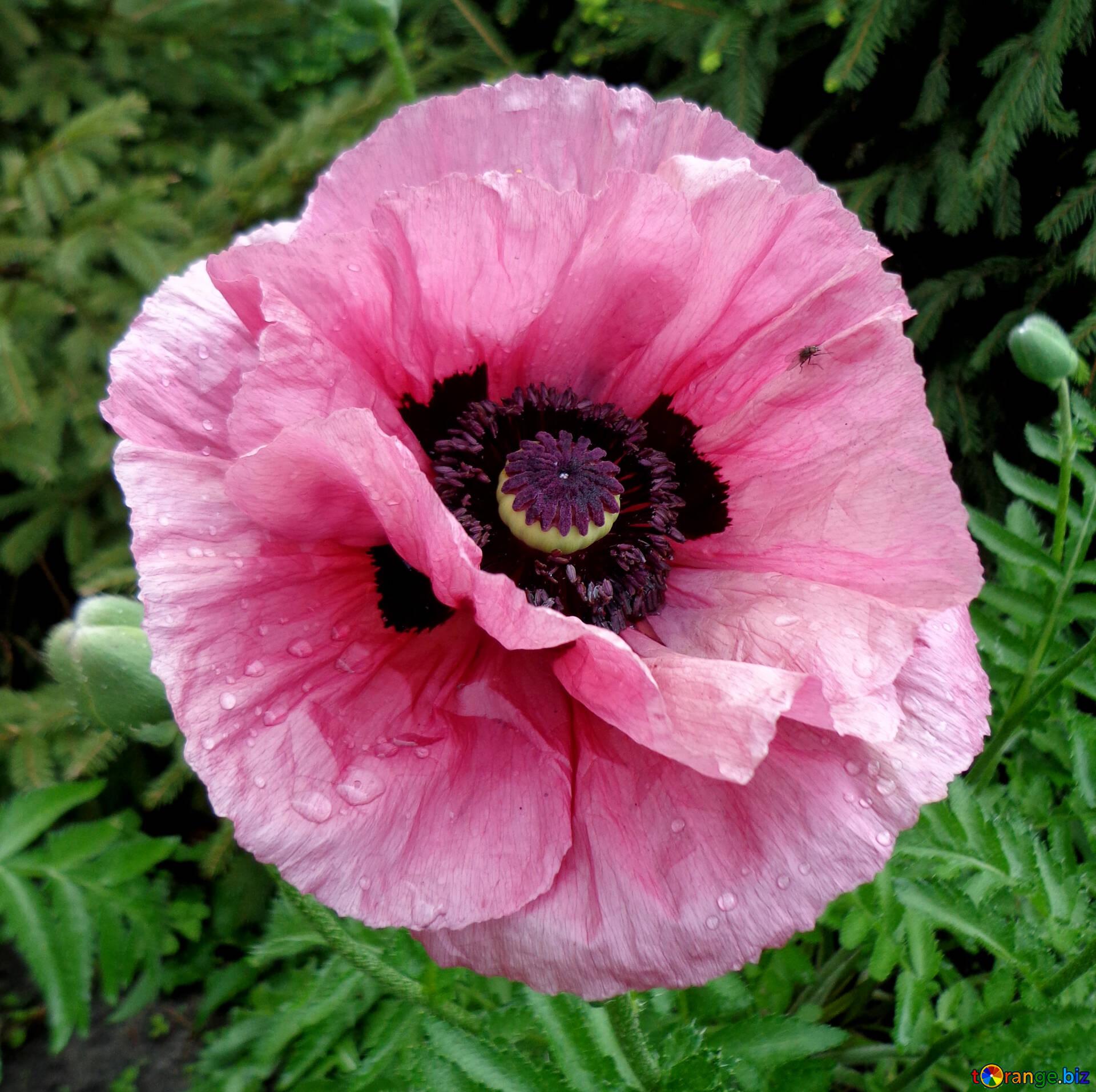 Poppy Flowers Pink Poppy Poppy 46686