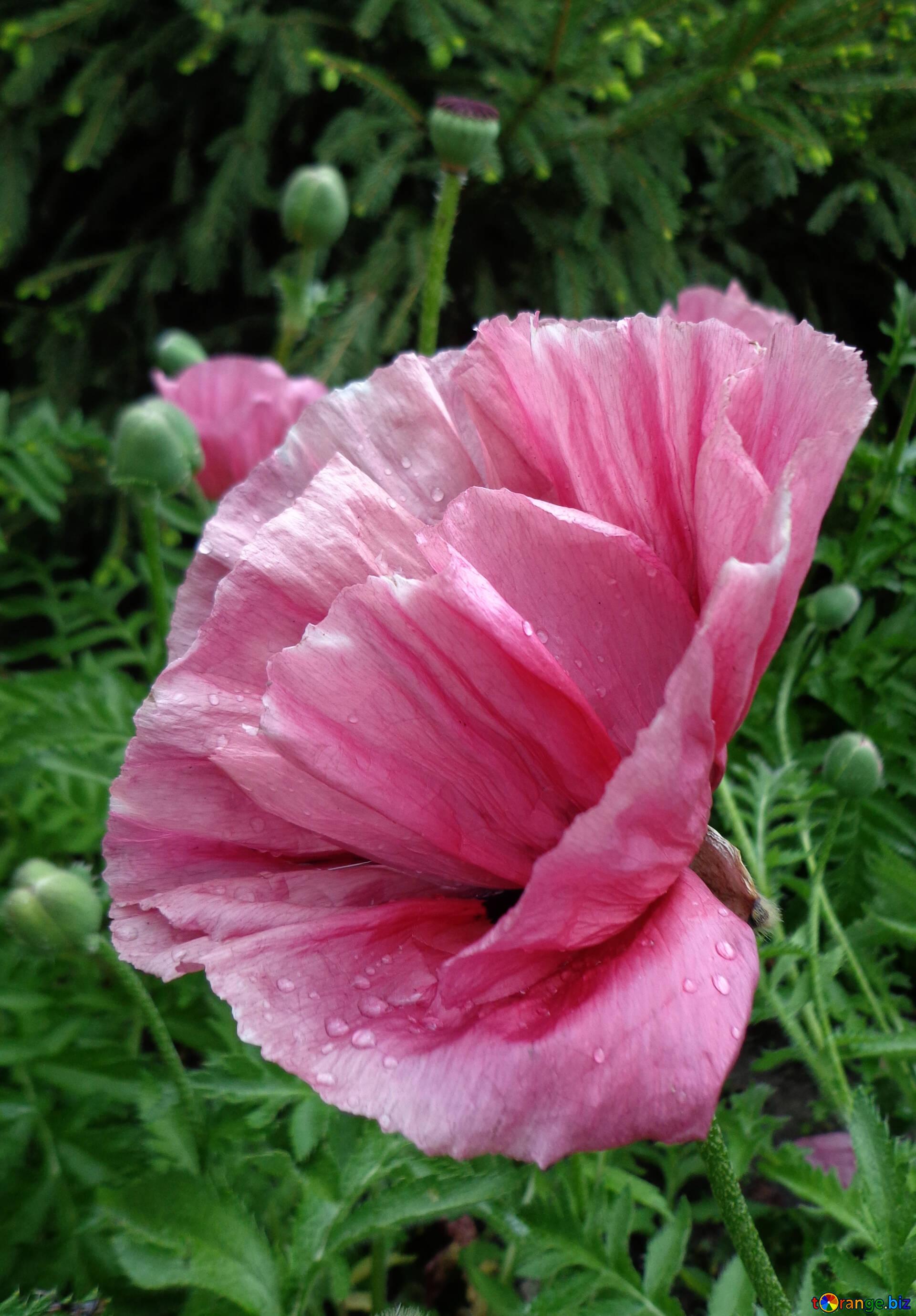 Poppy Flowers Pink Poppy Poppy 46687