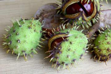 Beautiful fruits horse chestnut №46400