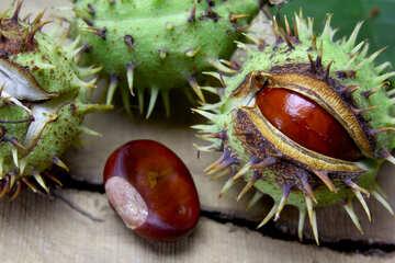 Beautiful fruits horse chestnut №46405